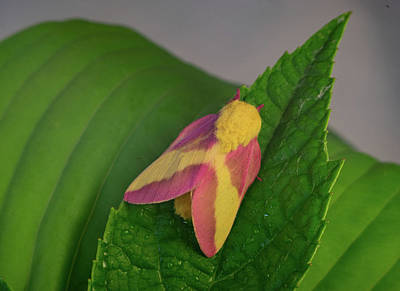 Photograph - Dryocampa Rubicunda On Leaf by Douglas Barnett