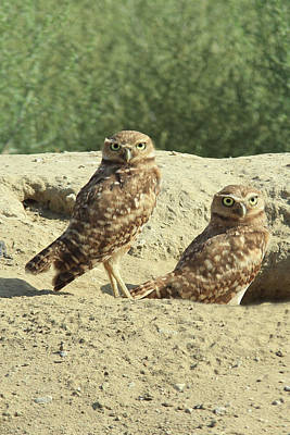 Hole In The Ground Photograph - Dual Burrowing Owls, Athene Cunicularia by Renee Sinatra