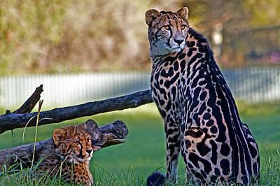Photograph - Dubbo Zoo Queen - King Cheetah And Cub by Miroslava Jurcik