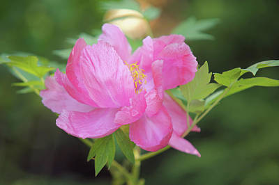 Photograph - Duchess Of Marlborough. Japanese Tree Peony by Jenny Rainbow
