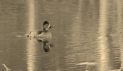 Photograph - Duck 1 by Buddy Scott