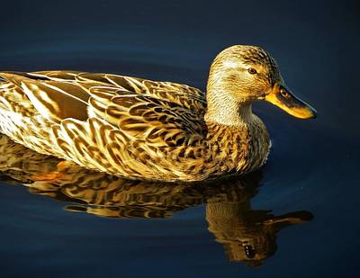 Photograph - Duck 3 by Vijay Sharon Govender