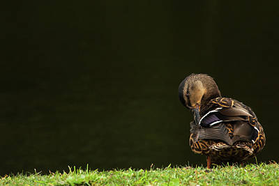 Photograph - Duck Action by Karol Livote