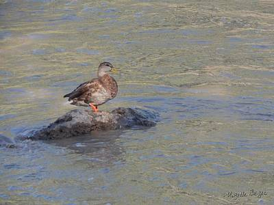 Photograph - Duck Alone On The Rock by Mozelle Beigel Martin
