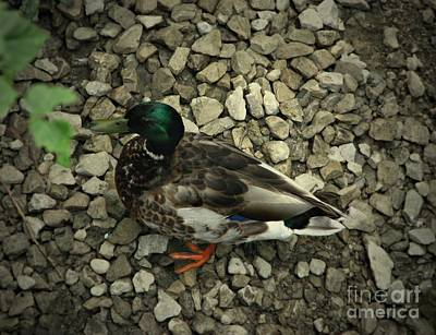 Photograph - Duck by Amanda Kessel