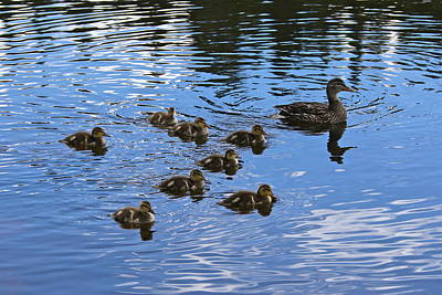 Photograph - Duck And Ducklings by Denise Mazzocco
