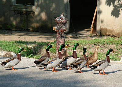 Photograph - Duck And Hydrant by Catherine Link