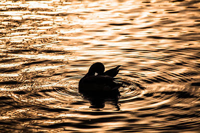 Photograph - Duck At Dusk by Karol Livote