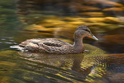 Photograph - Duck by Atul Daimari