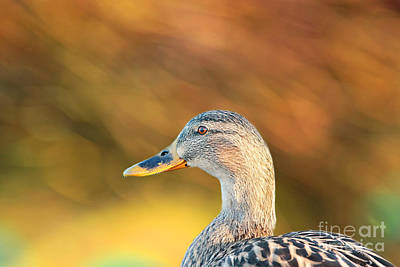 Photograph - Duck Bokeh by Lisa Cockrell