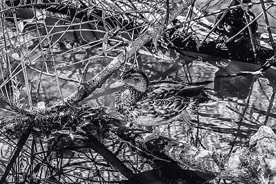 Photograph - Duck Bw 3 by Robert Hebert