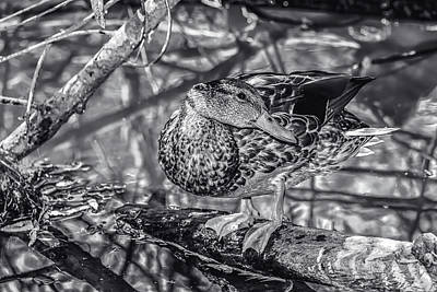 Photograph - Duck Bw1 by Robert Hebert