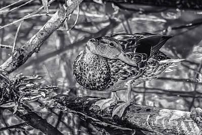 Photograph - Duck Bw1 by Robert Hebert