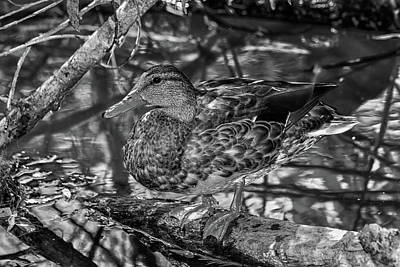 Photograph - Duck Bw2 by Robert Hebert