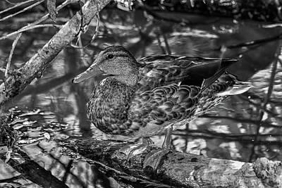 Photograph - Duck Bw2 by Robert Hebert
