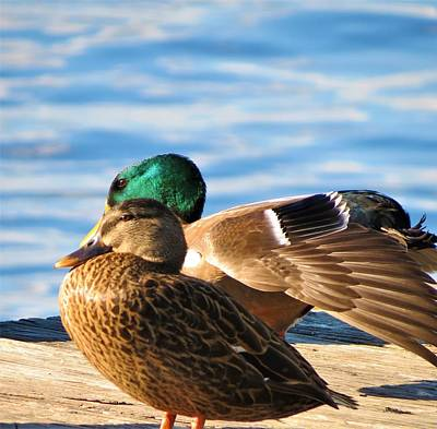 Photograph - Duck Couple by Vijay Sharon Govender