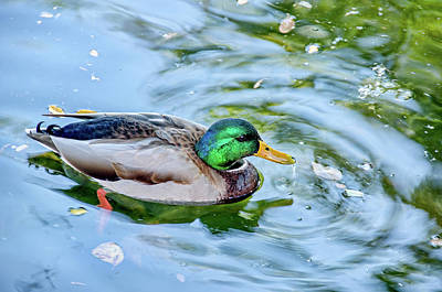 Photograph - Duck Delight by David Lawson
