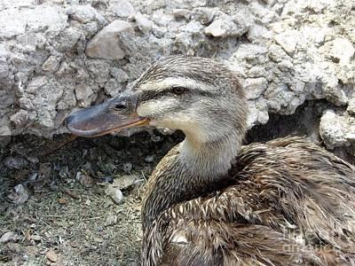 Photograph - Duck Duck Gray Duck by L Cecka