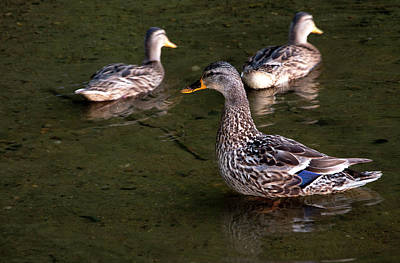 Photograph - Duck Family by Alex Galkin