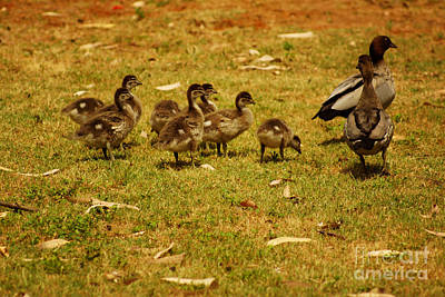 Photograph - Duck Family I by Cassandra Buckley