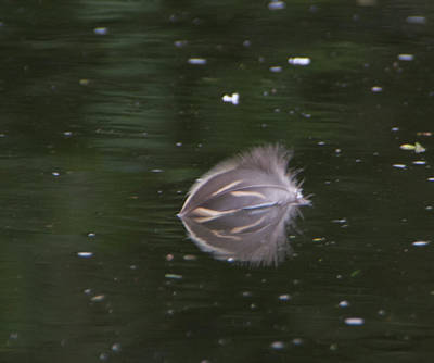 Photograph - Duck Feather by Marilyn Wilson