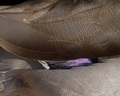 Photograph - Duck Feathers  by Roger Mullenhour