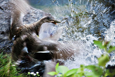 Photograph - Duck Fighting by Tatiana Travelways