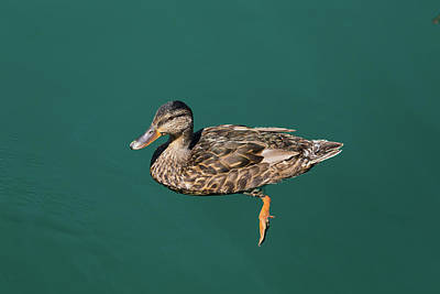 Photograph - Duck Floats by Davor Zerjav