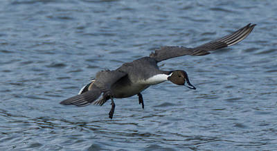 Photograph - Northern Pintail Duck In Flight by Marilyn Wilson