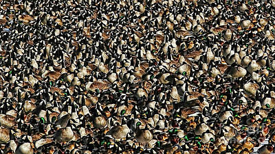 Photograph - Duck Geese Abstraction by Elizabeth Winter