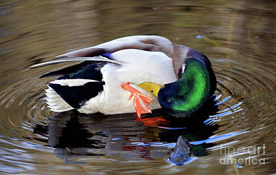 Photograph - Duck Grooming by Terry Elniski