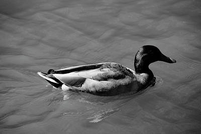 Photograph - Duck In Black And White by Mike Murdock