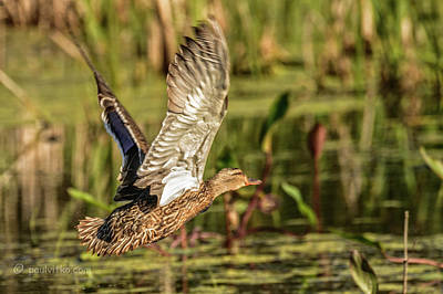 Photograph - Duck In Marsh.... by Paul Vitko