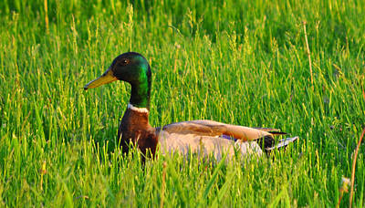 Photograph - Duck In The Grass by Daniel Ness