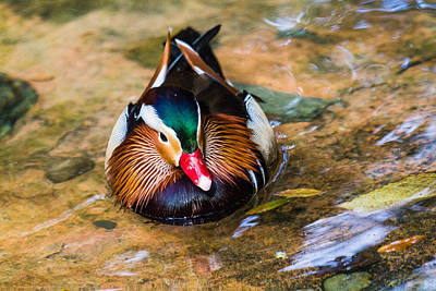 Photograph - Duck by Nicholas Evans
