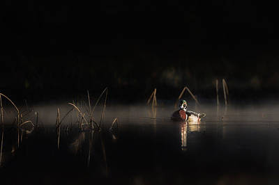 Morning Light Photograph - Duck Of The Morning Mist by Bill Wakeley
