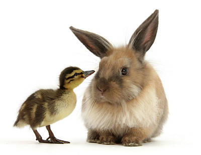 Photograph - Duck Out Bunny by Warren Photographic