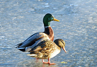 Photograph - Duck Pair On Frozen Lake by Cindy Schneider