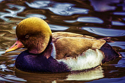 Photograph - Duck by Pete Federico