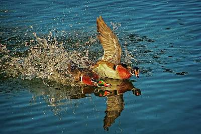 Photograph - Duck Racing, Wood Ducks by Flying Z Photography by Zayne Diamond