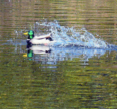 Photograph - Duck Splash Landing by Michele Avanti