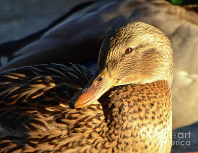 Photograph - Duck Sunbathing by Cindy Schneider