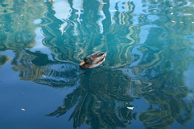 Photograph - Duck Swimming In The Blue Lagoon by Aimee L Maher Photography and Art Visit ALMGallerydotcom