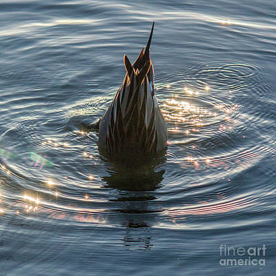Photograph - Duck Tail by Cheryl Del Toro