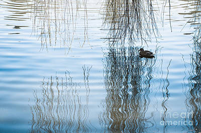 Willow Lake Photograph - Duck Under Willow Droop Twigs by Arletta Cwalina