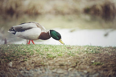 Photograph - Duck Walk by Cindy Grundsten