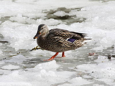 Photograph - Duck Walking On Thin Ice by Carol Groenen