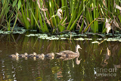 World Forgotten Rights Managed Images - Duck with babies Royalty-Free Image by Anthony Totah