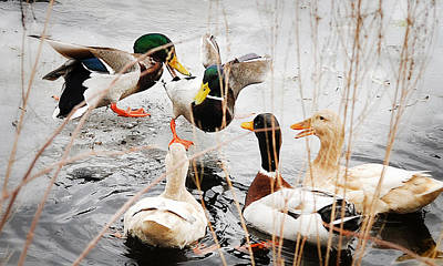 Photograph - Ducking Around by Joanne Brown