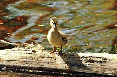 Photograph - Duckling Attitude by Debbie Oppermann